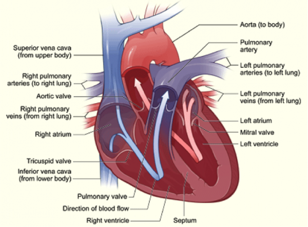 How the heart works the illustration shows a cross section of a healthy heart and its inside structures the blue arrow shows the direction in which low oxygen blood flows from ccuart Gallery