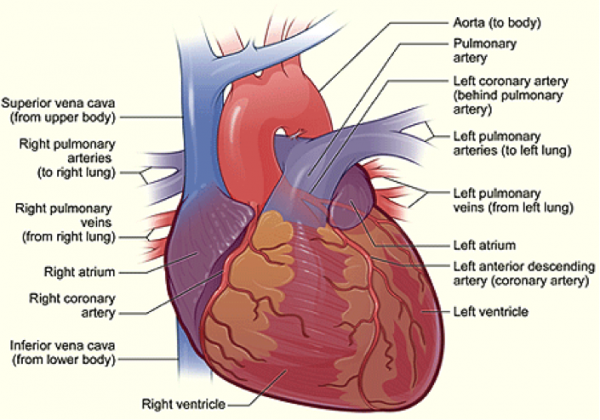Superb The Exterior Of The Heart: